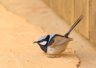Superb Fairy-wren male
